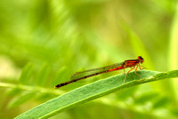 Eastern Forktail, immature female